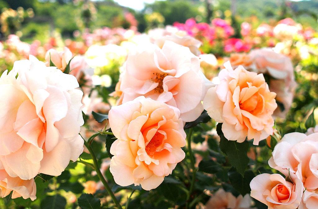 rose_img